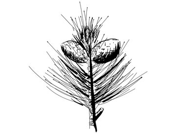 Pronatura-Joka-Iconzeichnung-Zirbe