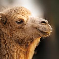dormiente-materialkunde-kamelhaar